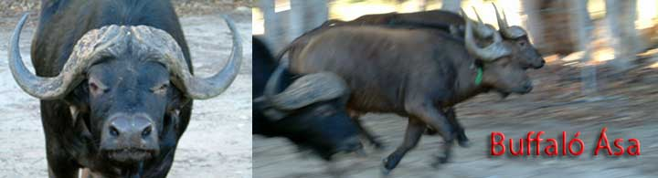 Buffaló Ása - Hausmynd